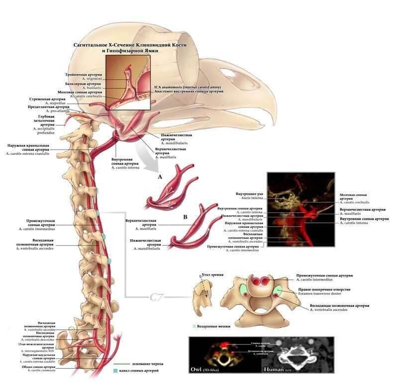 сагитальное х сечение клиновидной кости совы