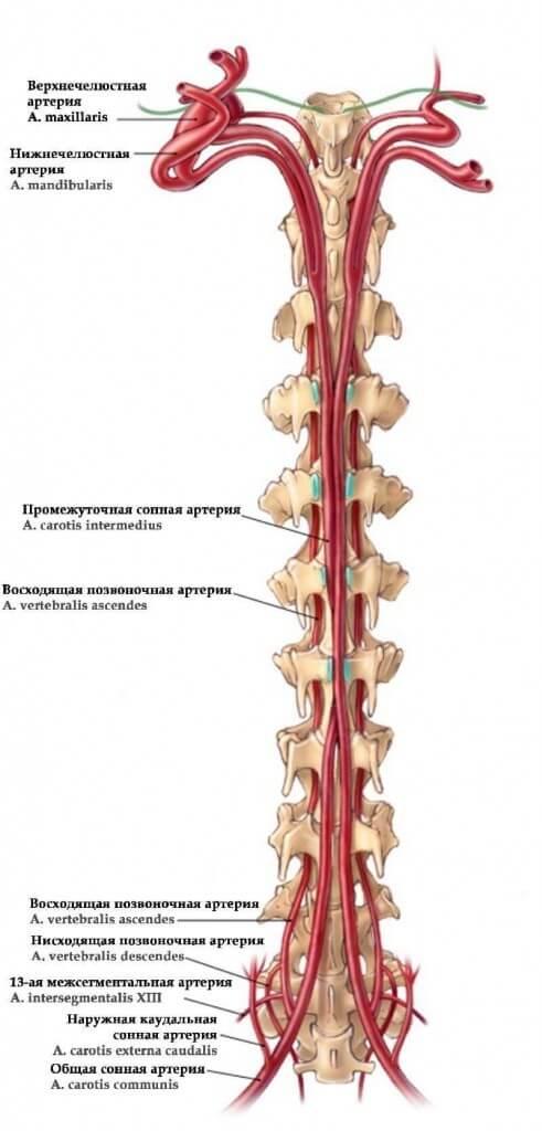 шея сов, особенности кровоснабжения головы совы