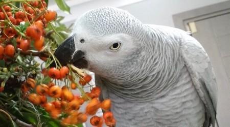 Пираканта корм для попугаев жако.