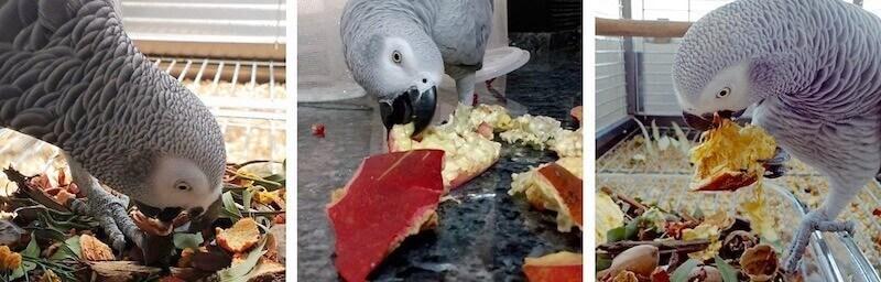 попугай жако ест кожуру граната, цитрусовых, орехов