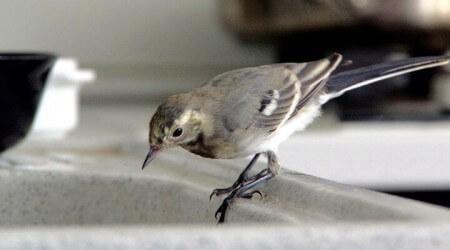 белая трясогузка дома, приручение, обучение певчих птиц.