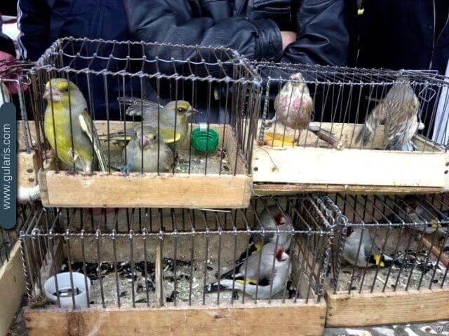 продажа диких певчих птиц. щеглы, зеленушки, чечетки