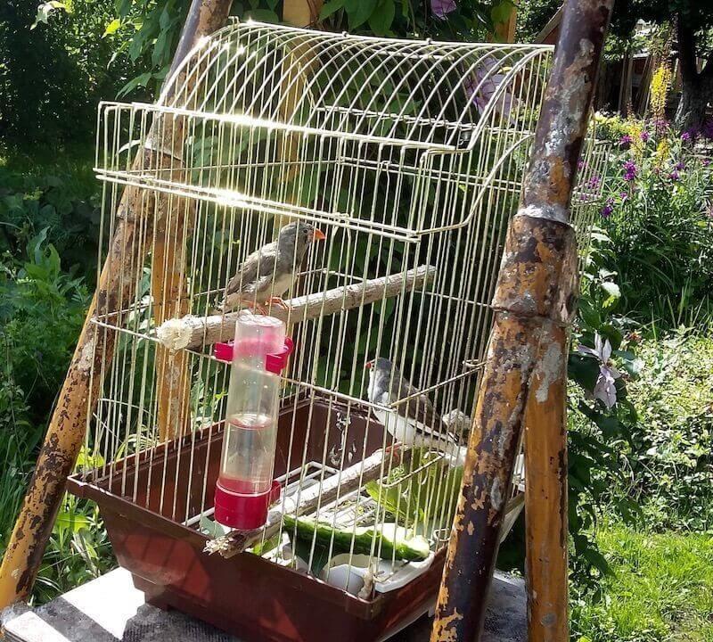 Надо ли выносить клетку с домашними птицами на улицу.