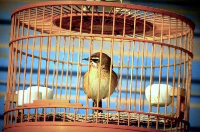 содержание певчих птиц в круглых меленьких деревянных клетках