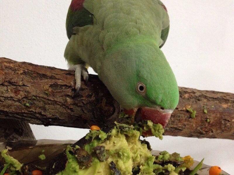 авокадо в кормах для александийских попугаев
