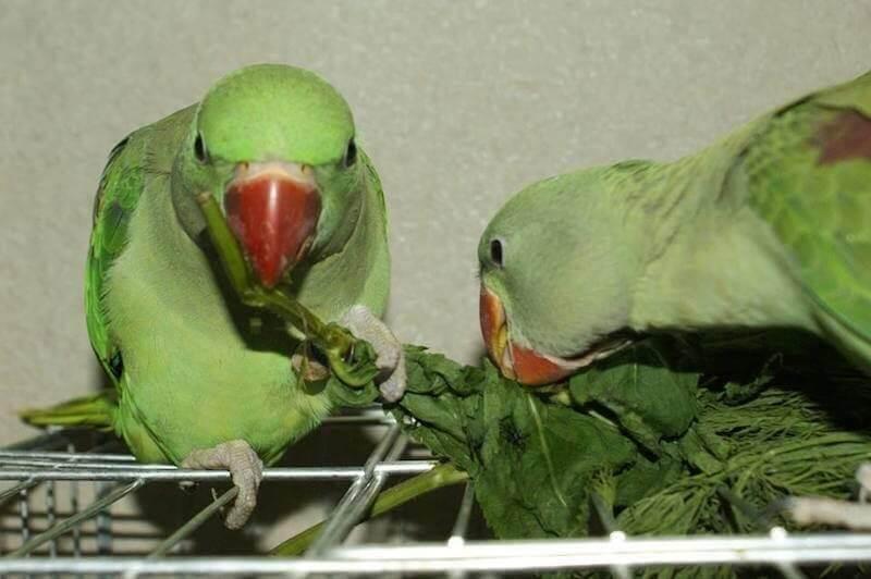 птенцы выкормыши александрийского попугая едят зелень