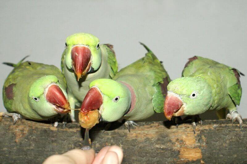 пары взрослых александрийских попугаев