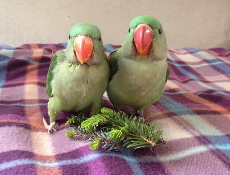 хвоя для птенцов александриских попугаев