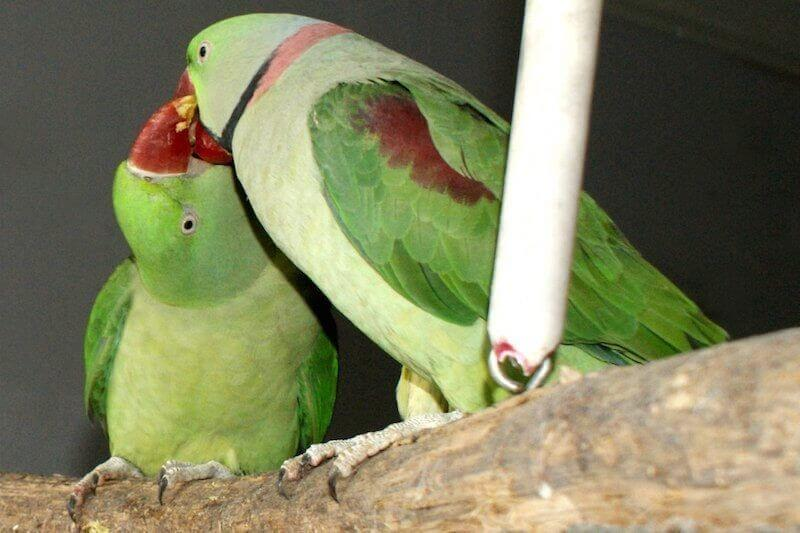 Поведение александрийских попугаев перед спариванием. Самец и самка.
