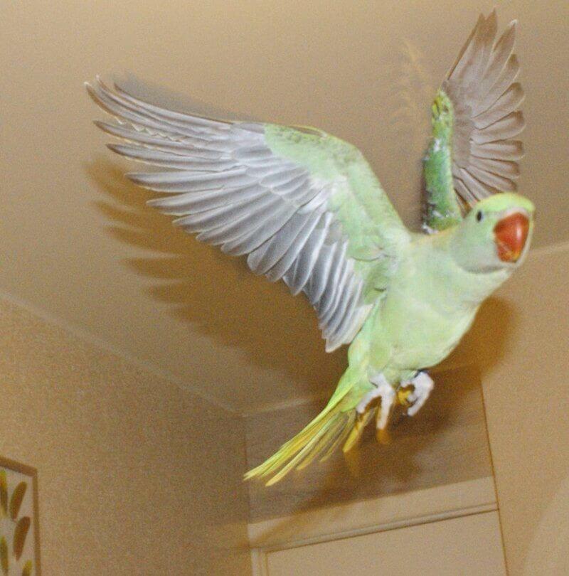 первый полет птенца выкормыша александрийского попугая