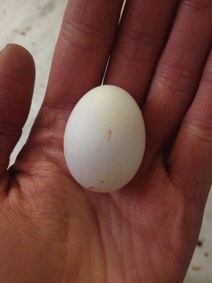 яйцо александрийских попугаев