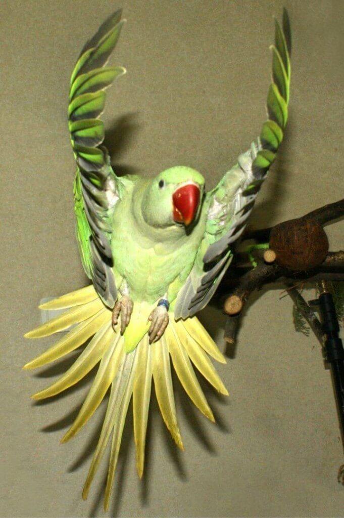 активные полеты птенцов выкормышей александрийского попугая в комнате