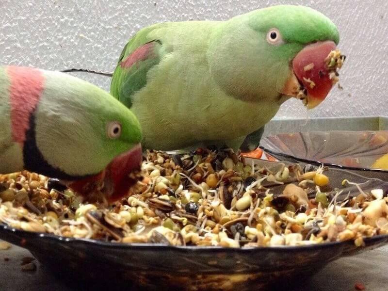 пророщенное зерно в рационах александрийских попугаев
