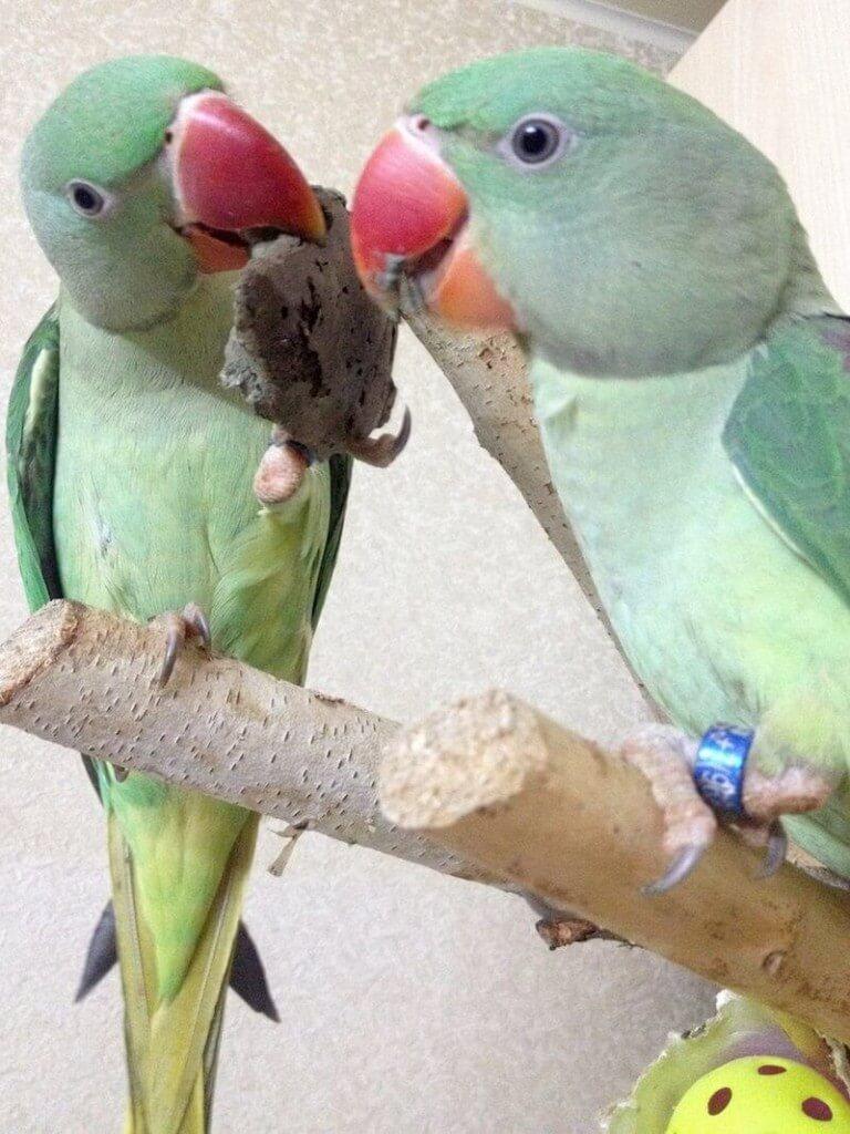 глиняная лепешка для птенцов выкормышей александрийских попугаев