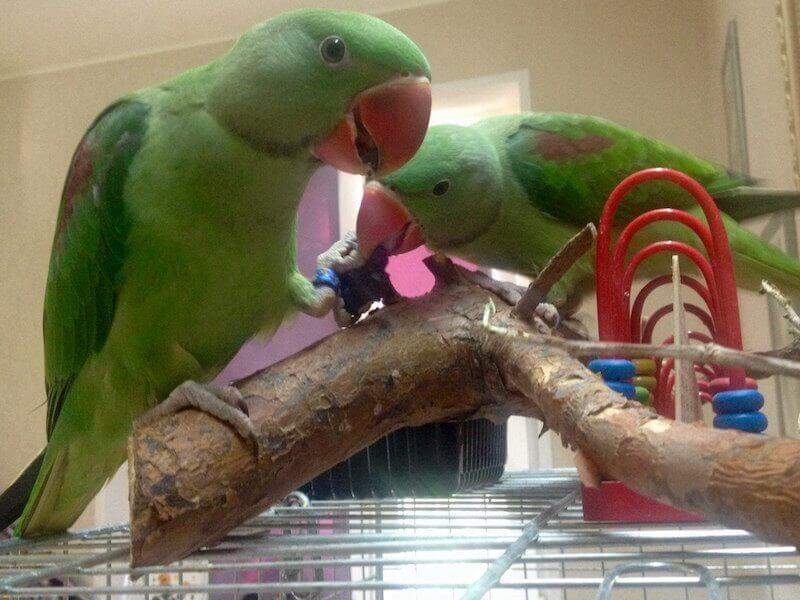 птенцы александрийского попугая грызут кору и играют на ветках