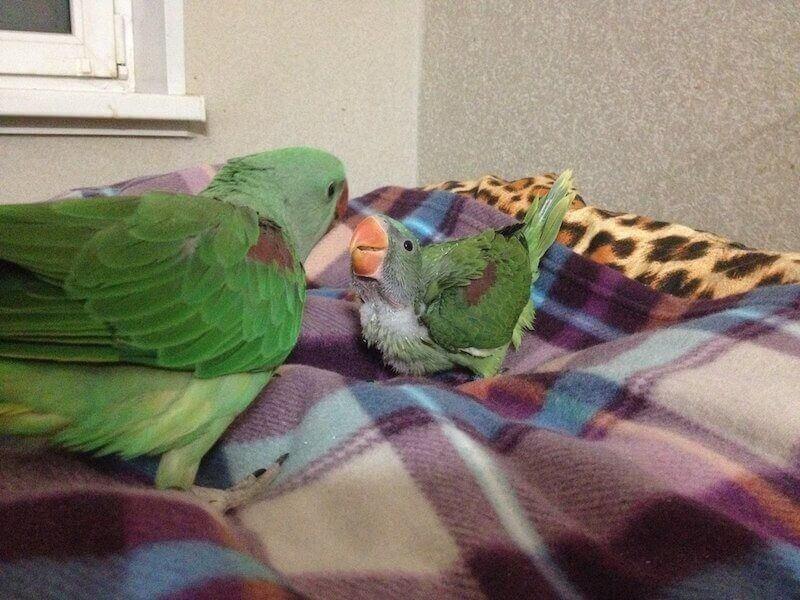 птенцы александрийского попугая общаются друг с другом