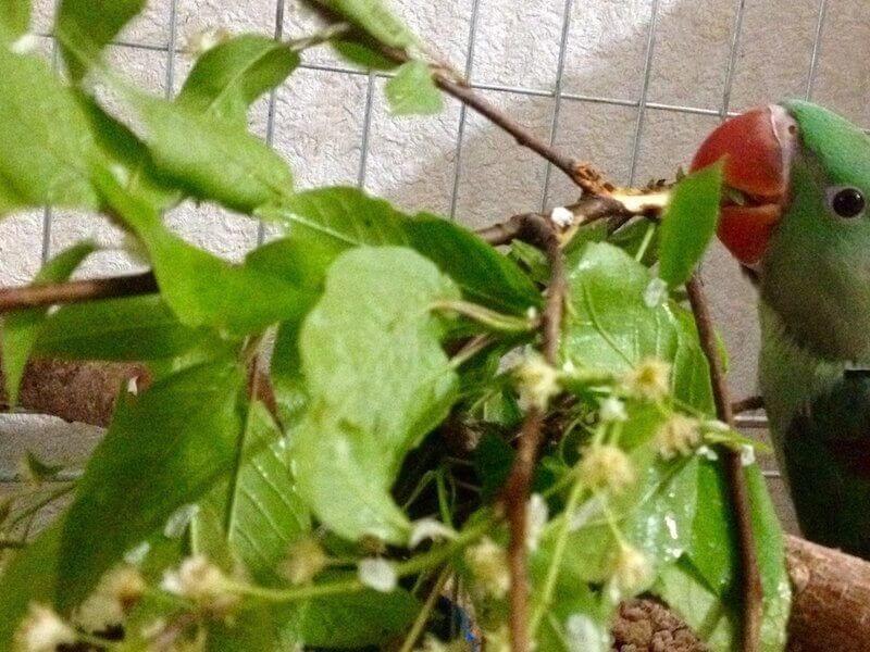 веточный корм для птенцов выкормышей александрийских попугаев