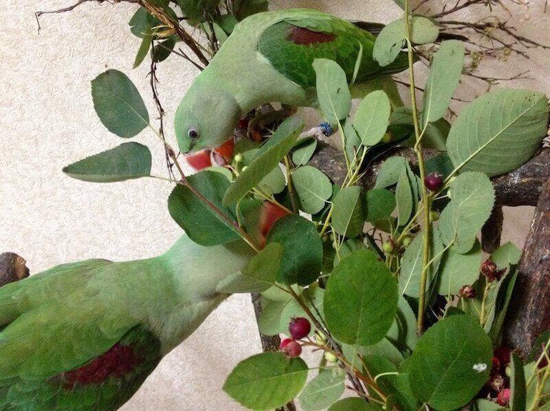 Ирга для птенцов выкормышей александрийских попугаев.