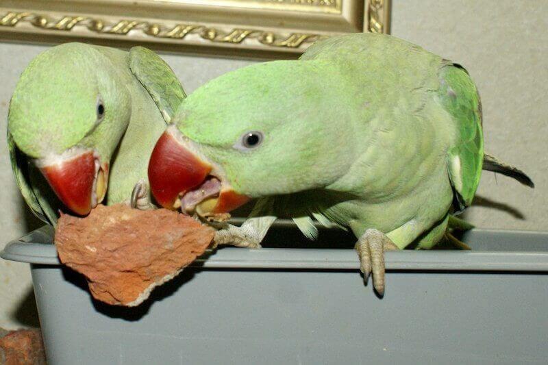 птенцы выкормыши александрийского попугая грызут кирпич