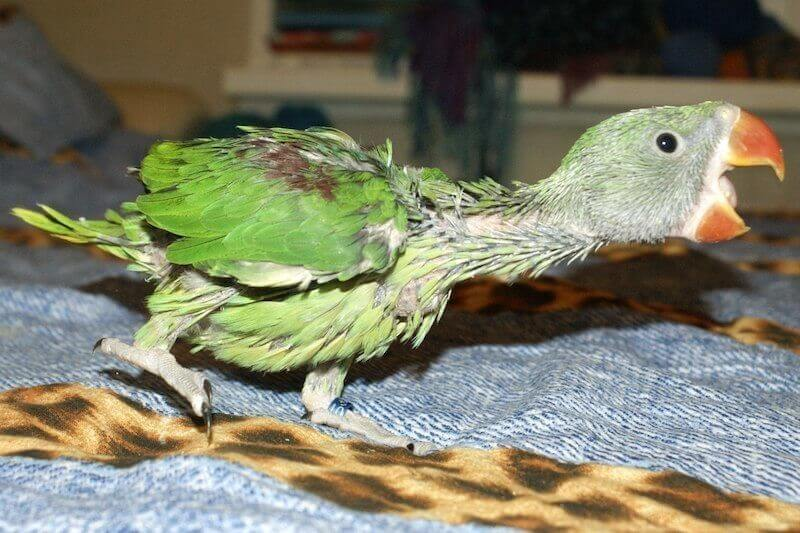 птенец александрийского попугая