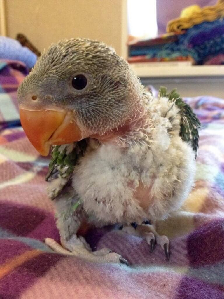 птенец александрийского попугая в 28 дней