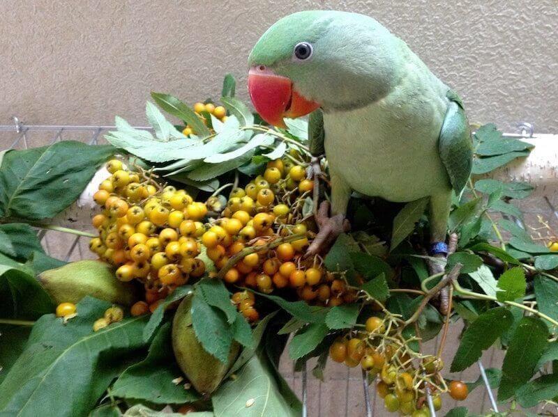 неспелая рябина, зеленые манчжурские орехи, листва для птенцов слетков александрийских попугаев