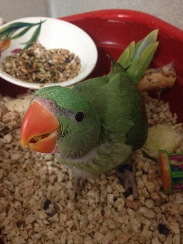 приучение птенцов александрийских попугаев в самостоятельному питанию