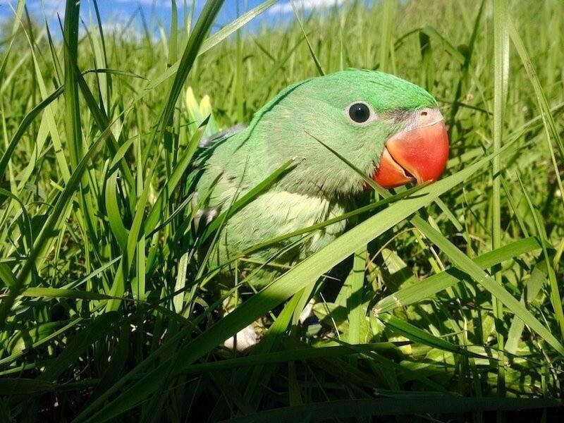 прогулки на улице с птенцами александрийских попугаев