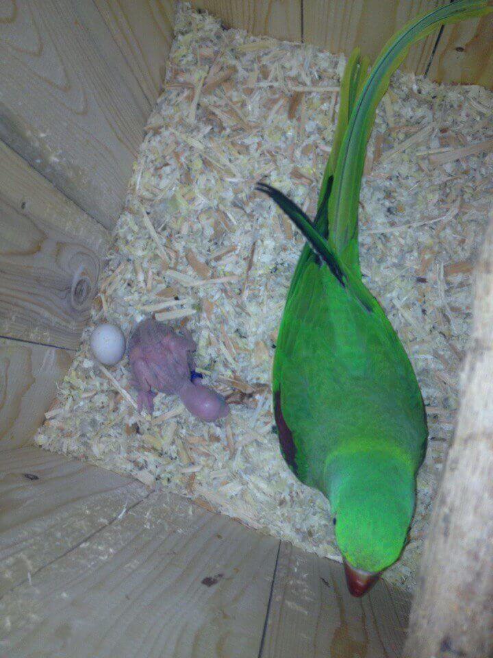 самка александрийского попугая в гнезде с яйцом и птенцом