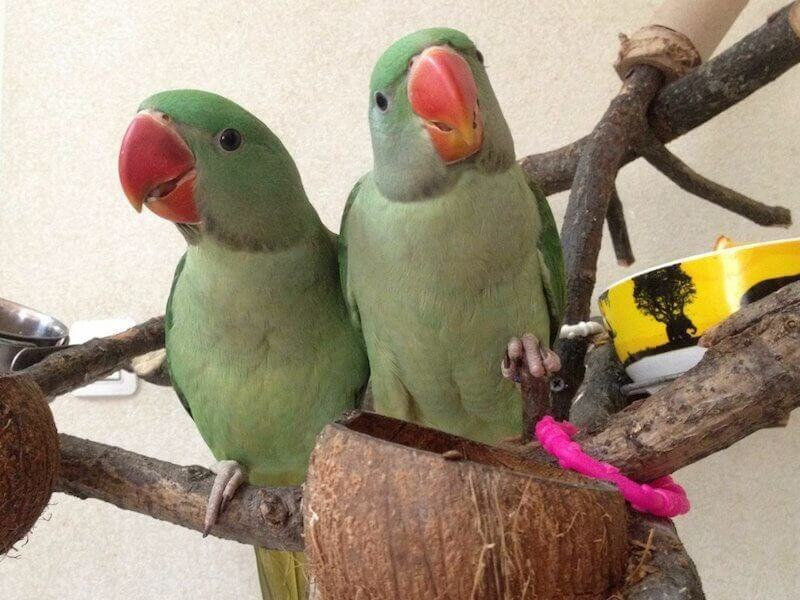 птенцы выкормыши александрийского попугая в 2 месяца