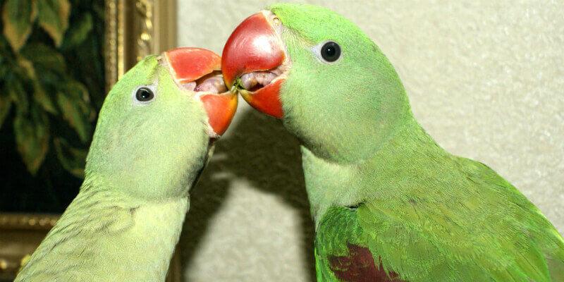 Разведение александрийских попугаев в домашних условиях.