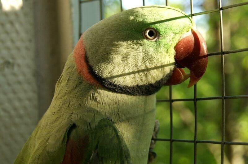 взрослый самец александрийского попугая
