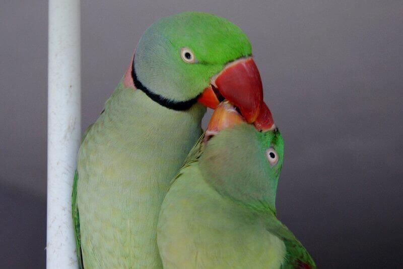 Половое поведение александрийских попугаев, самец кормит самку. Ухаживание.