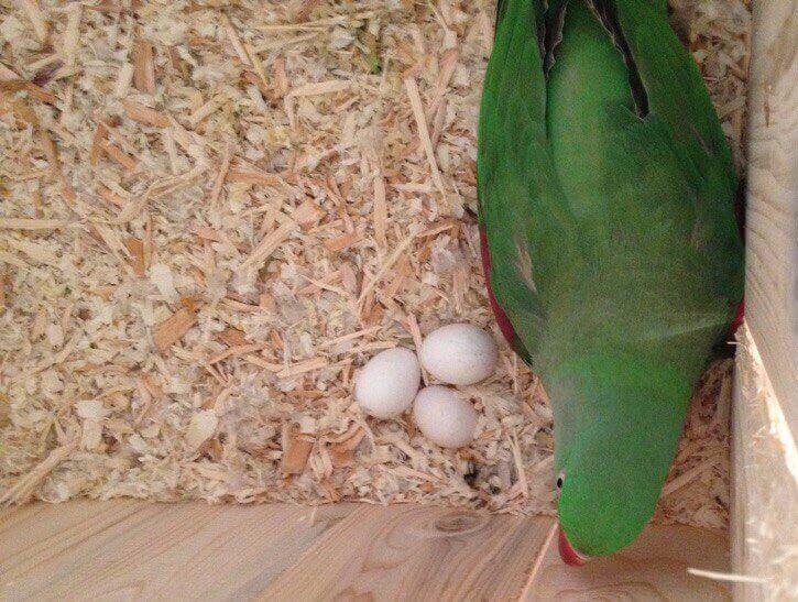 самка александриского попугая и яйца в гнезде