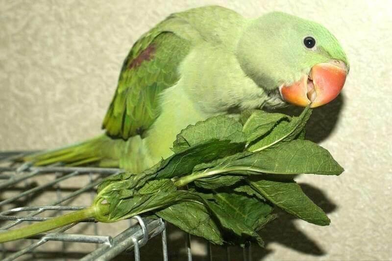 кормление подросших птенцов выкормышей зелеными кормами