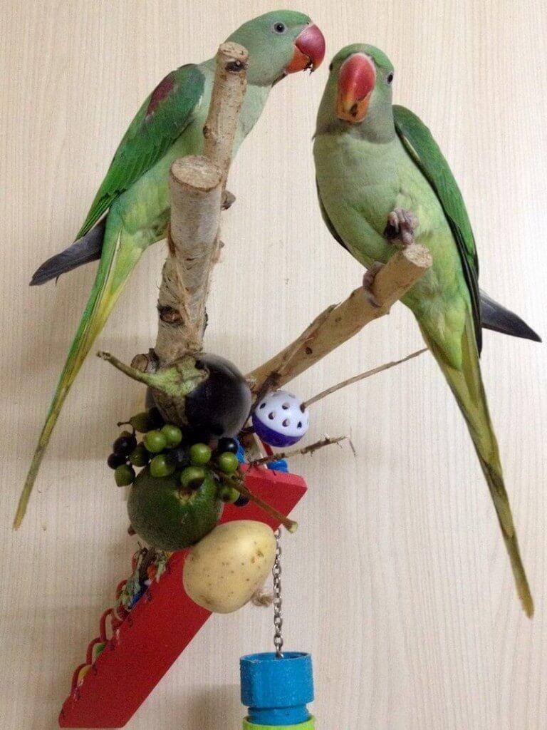 Слетки александрийского попугая