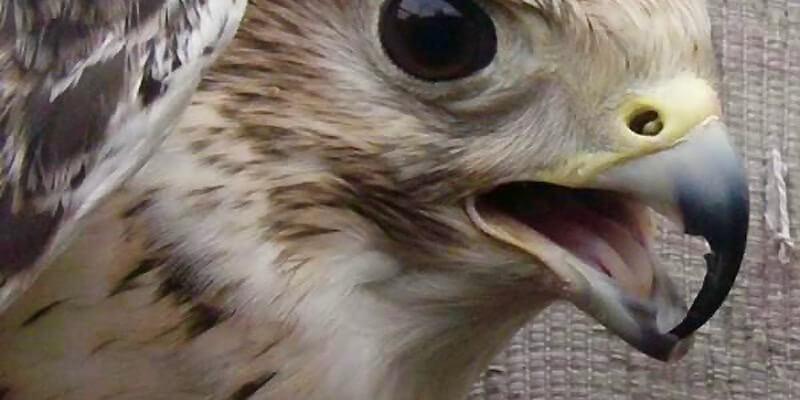 переросший клюв хищной птицы, попугя, совы