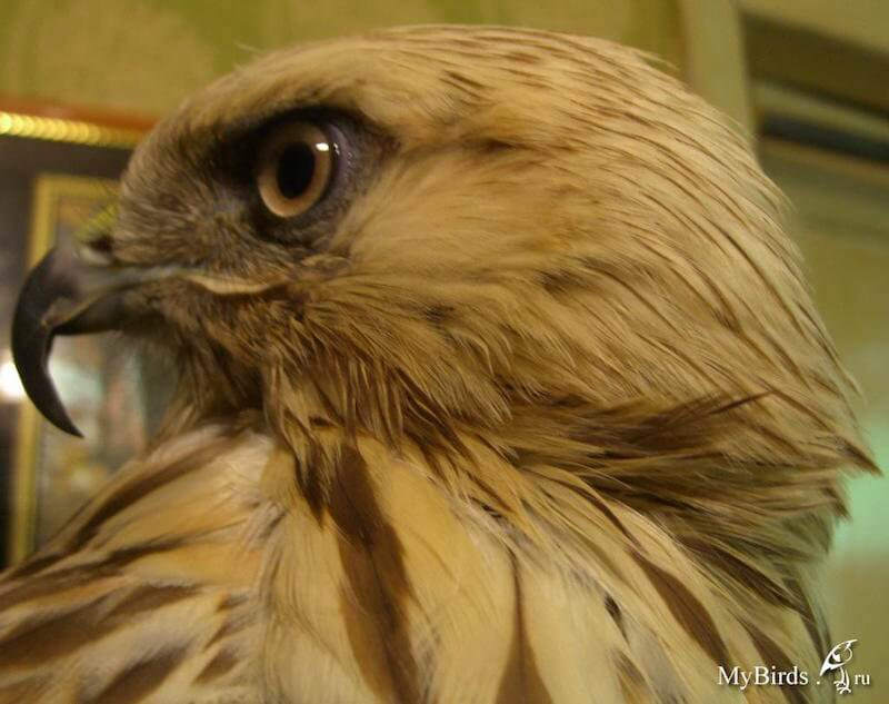 переросший клюв хищной птицы канюка