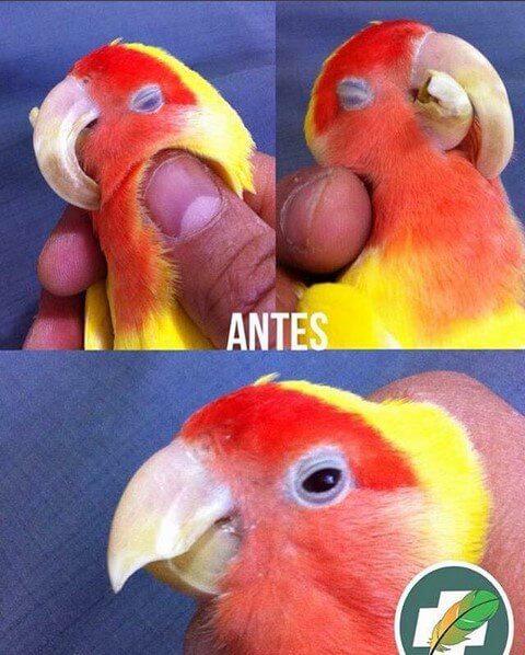 переросший клюв попугая неразлучника