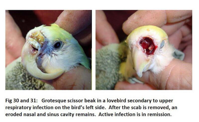 слишком длинный клюв попугая неразлучника