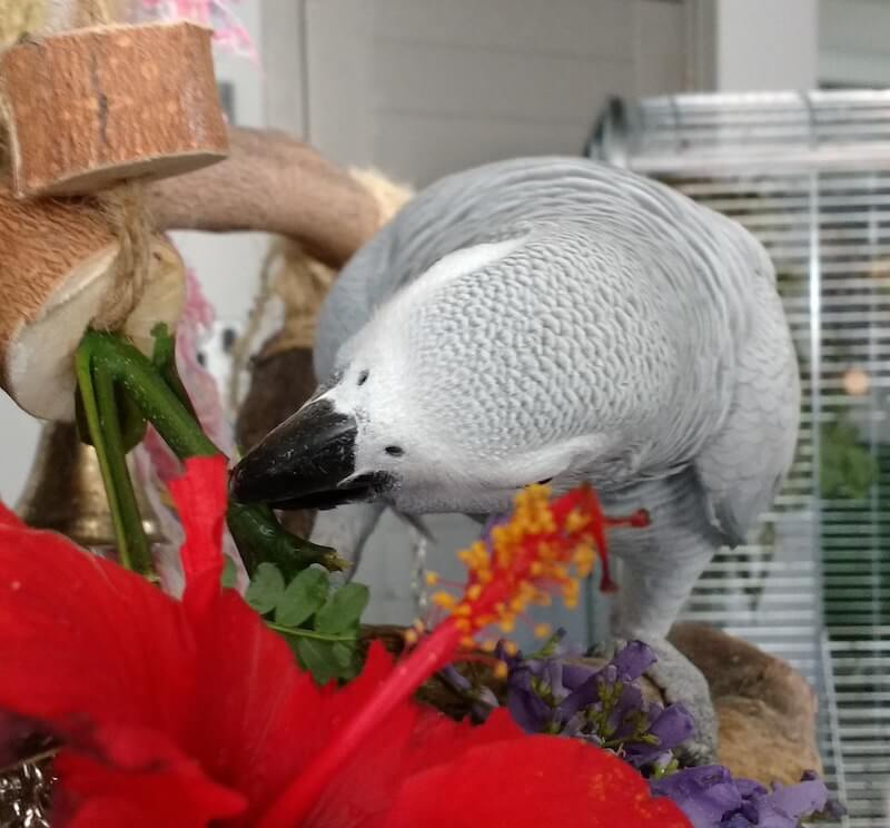 гибискус для попугая жако