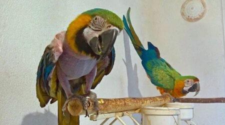 гипподинамия у попугая ара