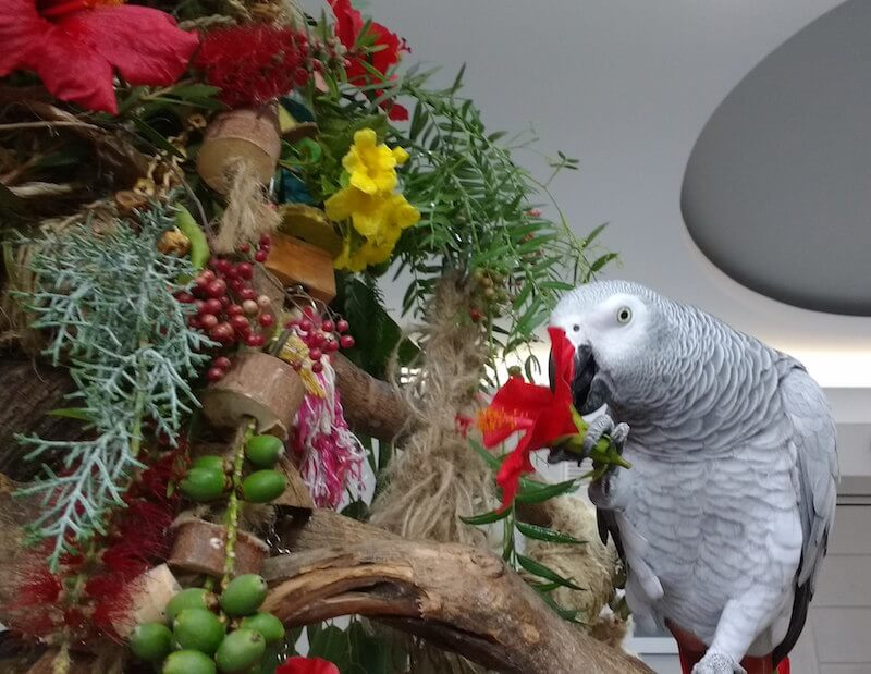 каркаде для попугая жако