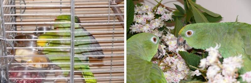 кормление попугаев суринамских амазонов в период размножения
