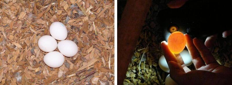 проверка яиц попугаев суринамских амазонов на оплодототворенность, овоскопия