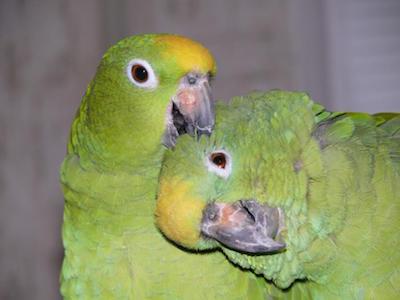 разведение попугаев суринамских амазонов, образование пары