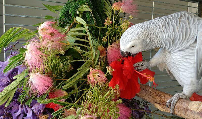 цветы гибискуса дя попугая жако