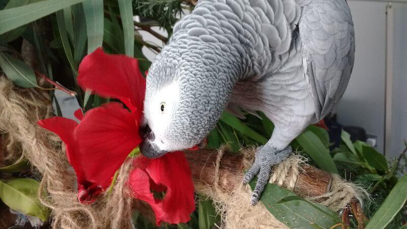 цветы, листья, ветки гибискуса для попугая жако