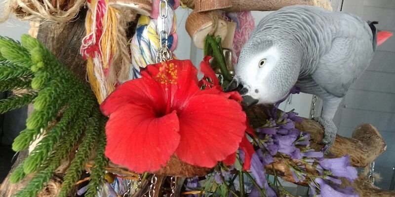 попугай жако ест гибискус