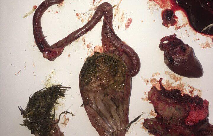 глисты аскариды в желудке ястреба тетеревятника